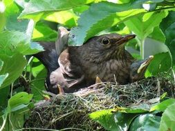 blackbird nest in spring