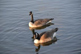 two canada Geese on Water