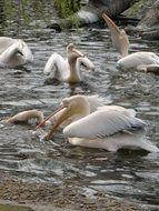 white Pelicans, Birds Feeding on Water