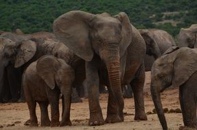Elephant family with babies in wild, africa