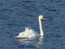 white swan swims on calm water on a lake