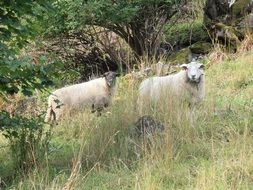 two white Sheeps on meadow