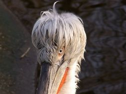 Dalmatian pelican with funny hair