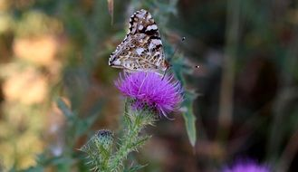 butterfly sits on a thistle on the field