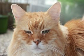 Red tabby domestic cat
