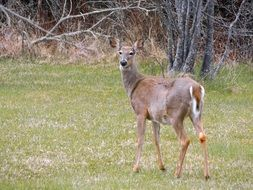 white-tailed Deer Animal outdoors