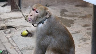 eating macaque