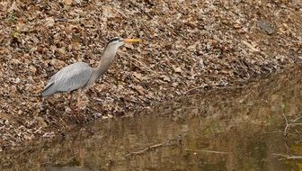 hunting great blue heron