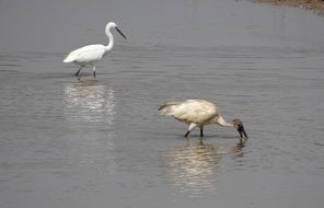 two white ibis in a lake in Karnataka