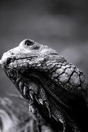 portrait of an iguana in black and white