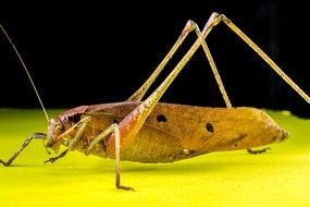 grasshopper stands sideways on a surface on the black background