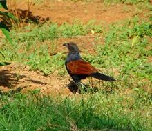 crow pheasant among green grass
