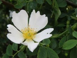 white delicate dog rose