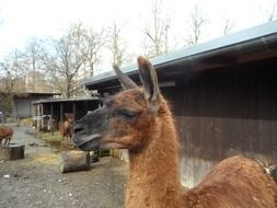 red Llama in Petting Zoo