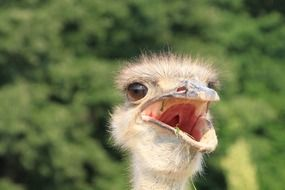 portrait of an ostrich with opened beak