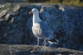white and grey Seagull stays on rock at wild