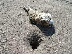 dead puffer fish in the sand