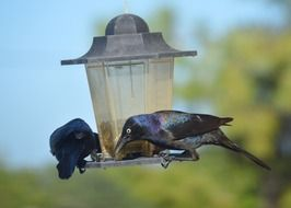Grackles Black Birds