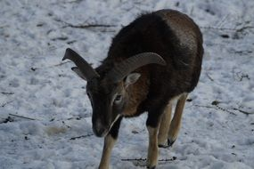 brown mouflon in the petting zoo