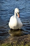 Swan goes to the beach from the water