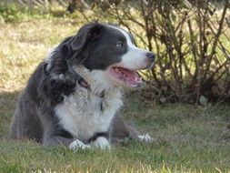 australian shepherd resting in the shadow