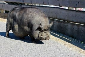 thick pot bellied pig