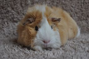 cuddly red and white guinea pig