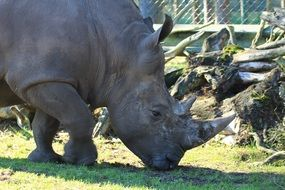 large white rhino in the zoo