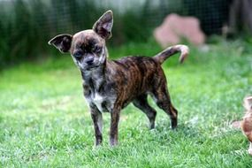 Chihuahua puppy on green grass