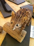 OCelot on the wood
