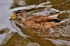 duck with brown feathers on the water in the pond