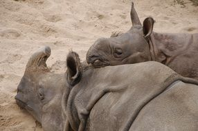 Two wilhelma rhinoes lie on the sand