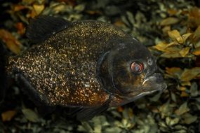 piranha in an aquarium