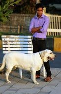 white labrador with his owner