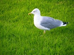 Seagull Bird in green Grass walking