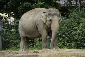 large indian elephant in the zoo