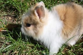 dwarf rabbit on green grass