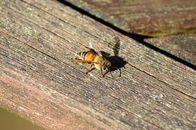 golden honey bee on a wooden surface