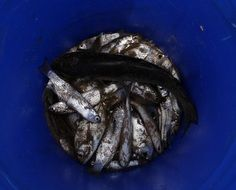 indian oil sardines in the bucket