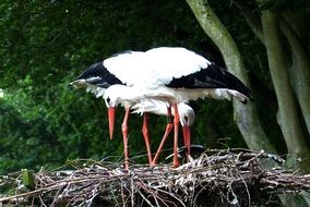 storks in a nest among nature