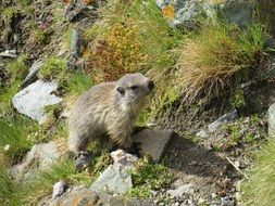 Cute Marmot in the wildlife