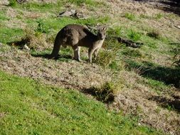Kangaroo Marsupial animal in Australia