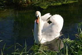 Mute Swan in a pond