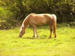 red horse grazing on meadow at sunny day