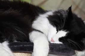 Picture of black and white Chilling Out cat