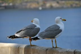 charmingly two Gulls Birds