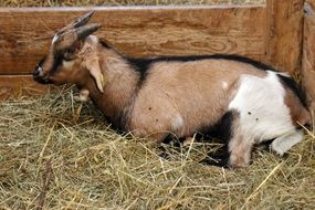tricolor Goat lying in Stall on Hay