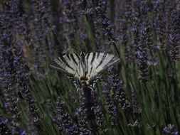 papilio machaon butterfly on the lavender field