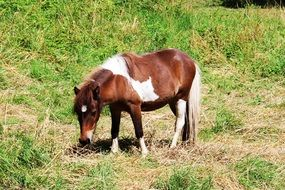 pinto Pony grazing on meadow