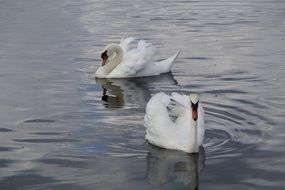 two white beautiful swans in the water